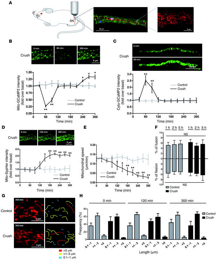 Mitochondrial physiology changes during SC demyelination. (A) Schematic ...