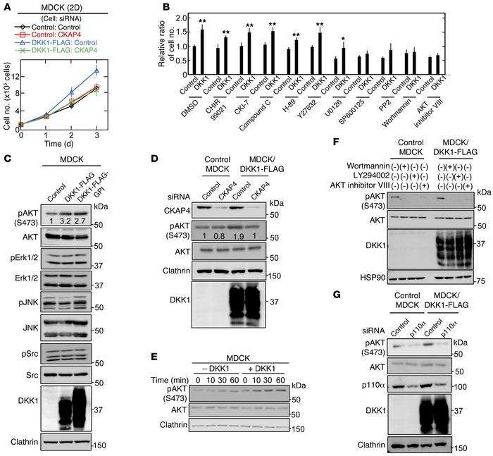 DKK1 signaling through CKAP4 activates the PI3K/AKT pathway, resulting i...
