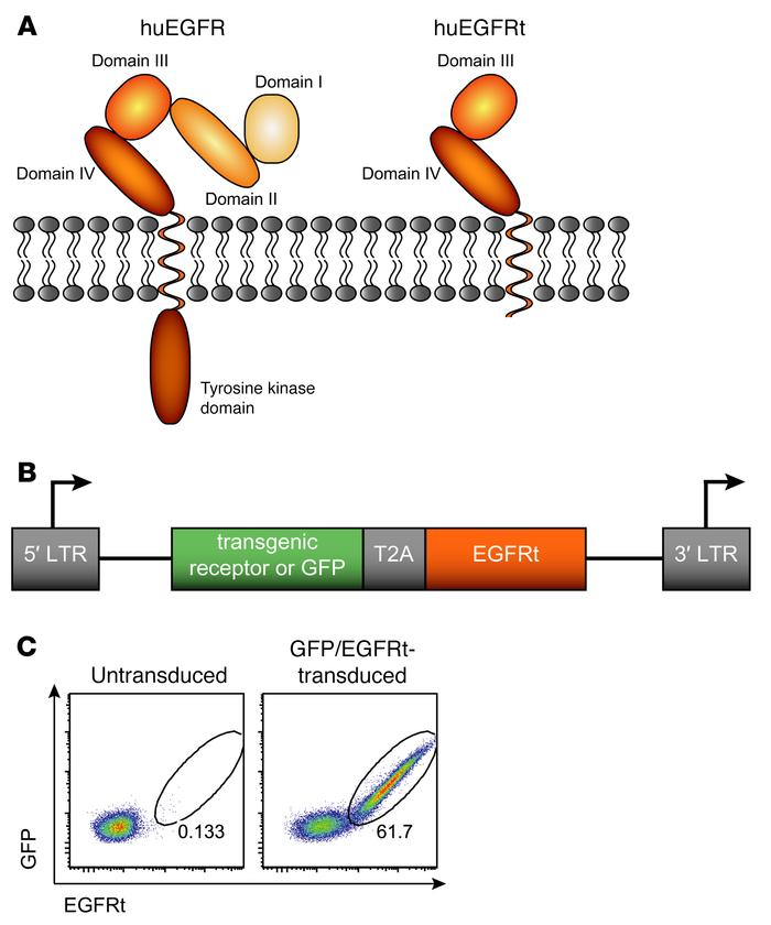 Truncated EGFR implemented into a T2A-containing gene expression vector ...