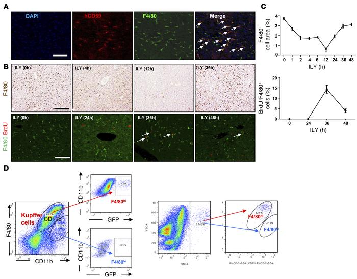 ILY treatment depletes liver Kupffer cells in Lysm-Cre+ihCD59+ mice: a m...