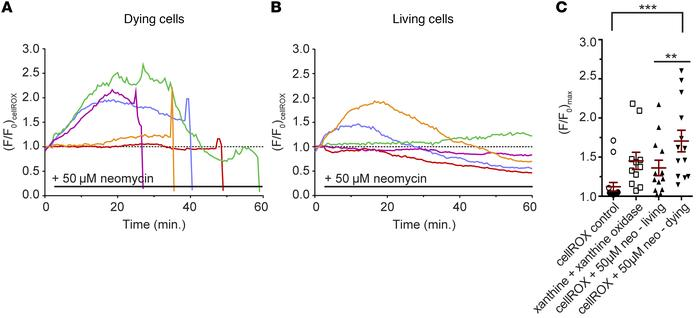 Oxidative changes in lateral line hair cells following aminoglycoside ex...