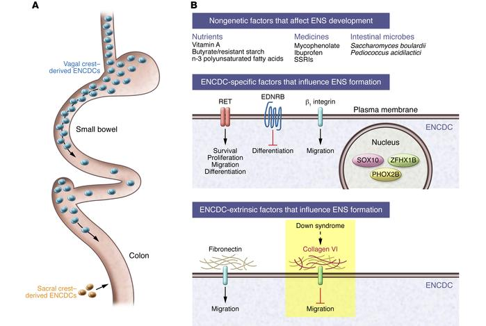 Formation of the ENS requires precise regulation of ENCDC proliferation,...