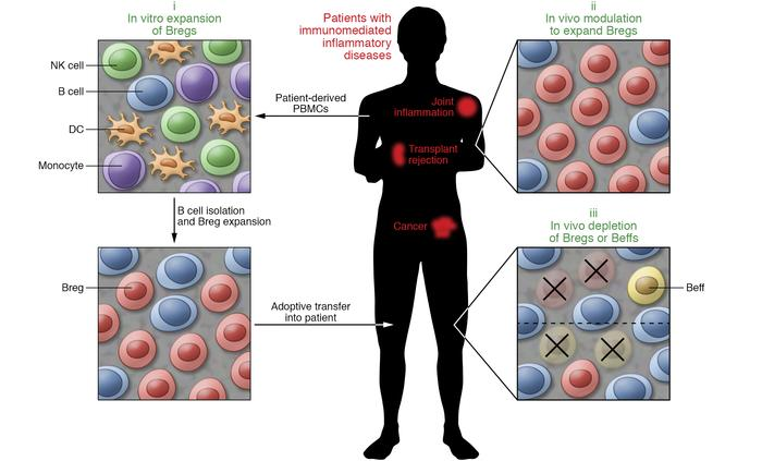 Potential Breg-targeted therapies. Therapeutic interventions targeting B...