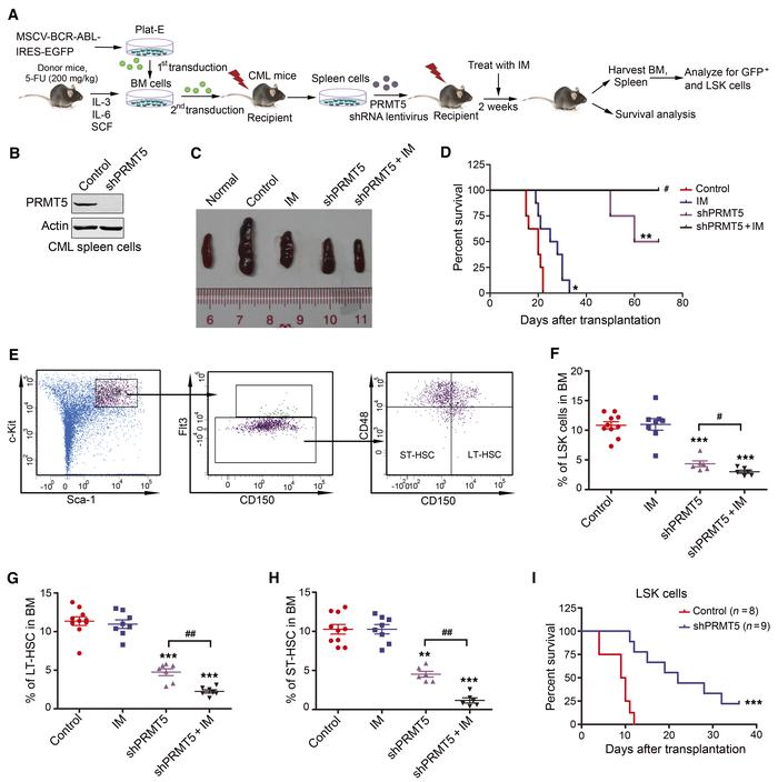 PRMT5 knockdown inhibits LSC growth in the CML mouse model. (A) Schemat...