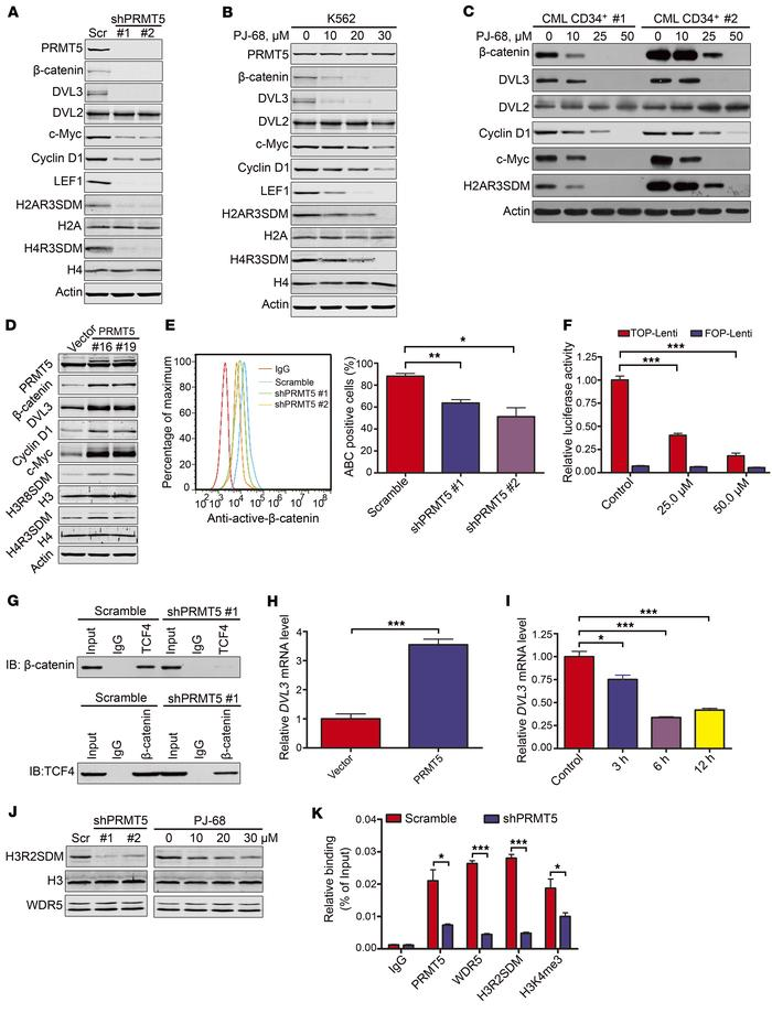 PRMT5 activates Wnt/β-catenin signaling through upregulating DVL3 expres...