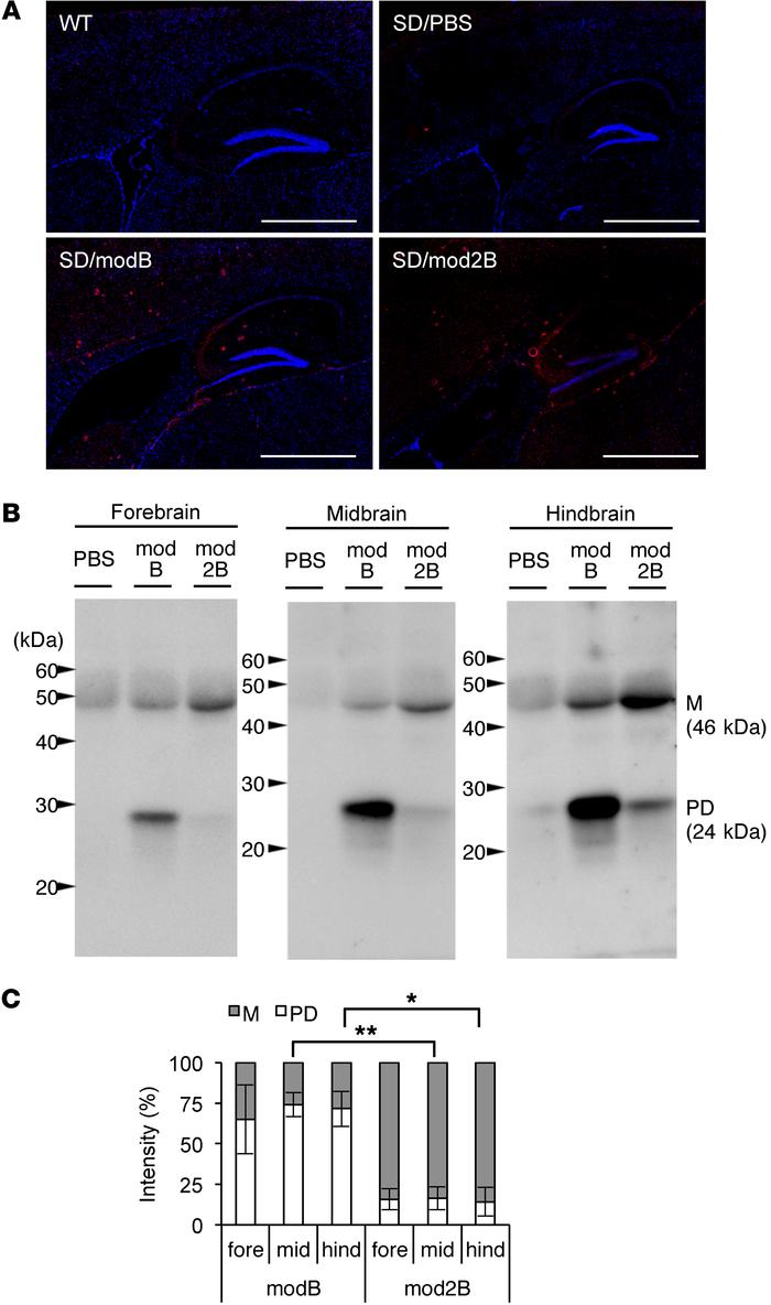 Distribution and protease sensitivities of modified HexBs in SD mouse br...