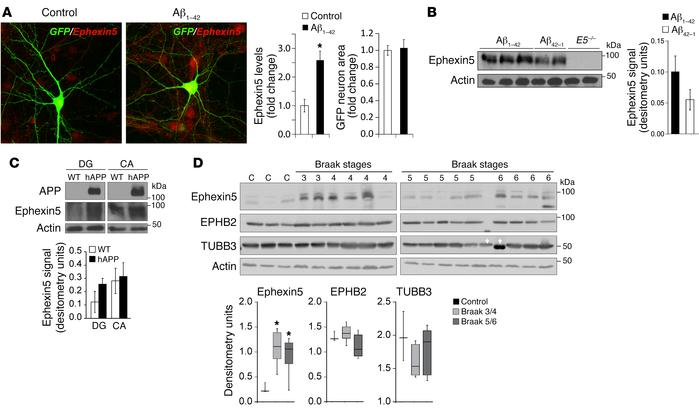 Ephexin5 expression is altered in response to Aβ and in AD. (A) Immunocy...