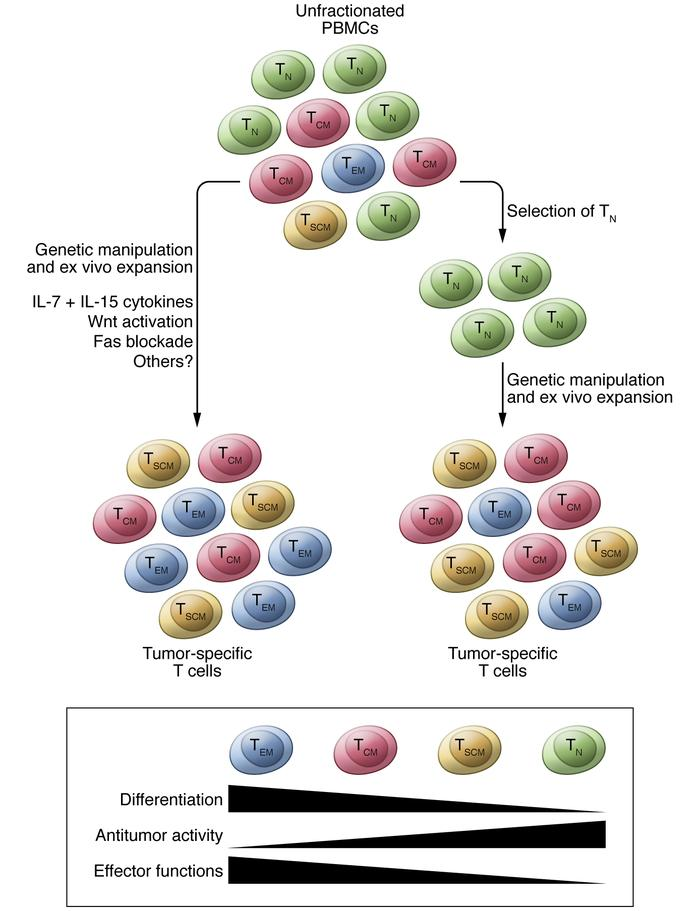 Schematic representation of the generation of engineered T cells for ado...
