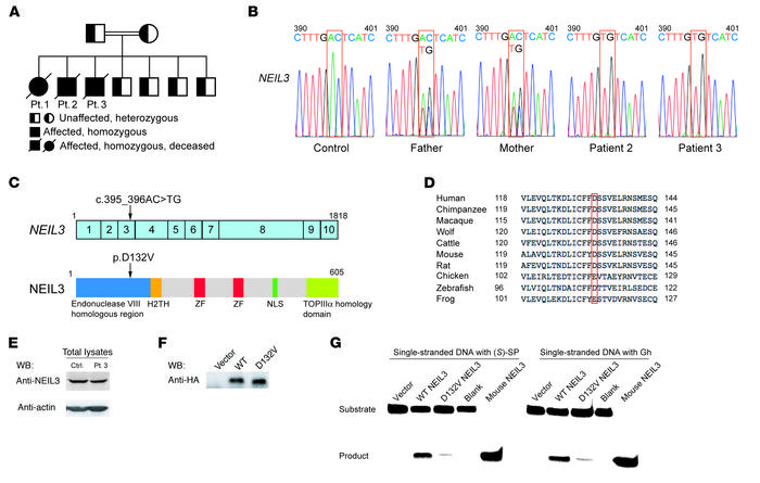 Family pedigree, NEIL3 mutation, and effect of the mutation on NEIL3 exp...
