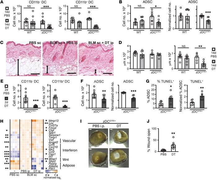 DCs maintain ADSC survival and skin function in BLM-induced fibrosis. (A...