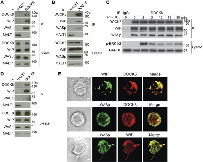DOCK8 interacts constitutively and colocalizes with WASp and WIP in T ce...