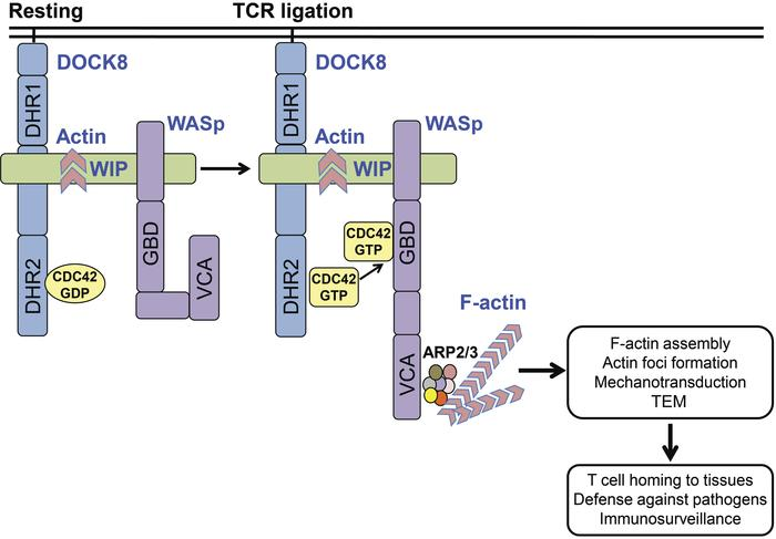 A DOCK8-WIP-WASp complex links the TCR to the actin cytoskeleton reorgan...