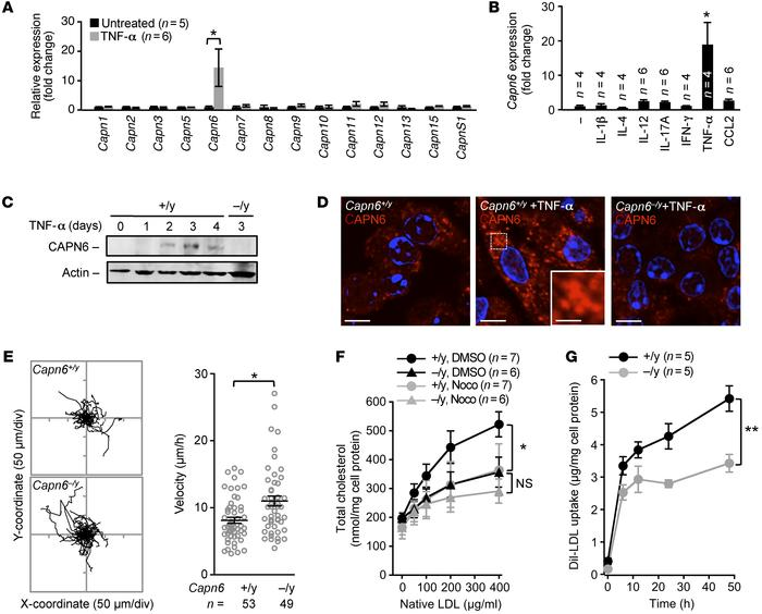 Loss of CAPN6 reduces the pinocytotic uptake of native LDL in macrophage...