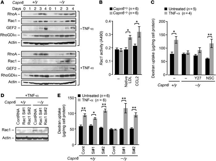 Recovery of Rac1 by CAPN6 deficiency antagonizes pinocytotic activity in...