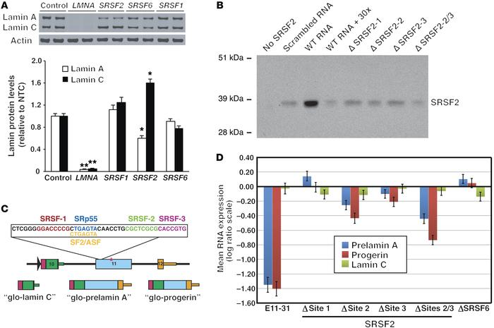 SRSF2 modulates LMNA alternative splicing. (A) siRNA knockdown of SRSF2 ...