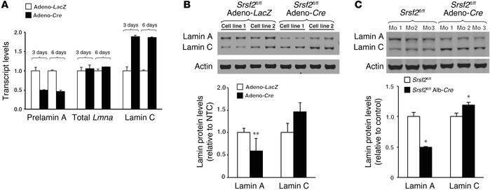 Lamin C/prelamin A splicing in mouse cells and tissues depends on SRSF2 ...