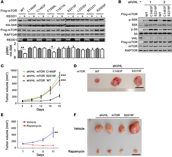 Kidney cancer–derived mTOR-activating mutants are resistant to REDD1-med...