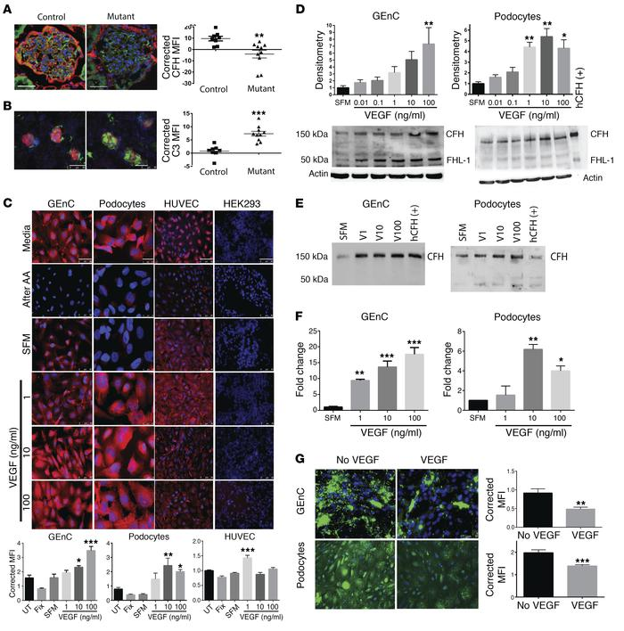 VEGF regulates CFH expression in the glomerulus. Adult mice with an indu...