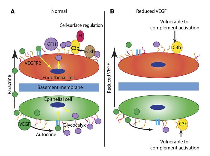 Proposed model of how VEGF regulates local complement activity. (A) Unde...