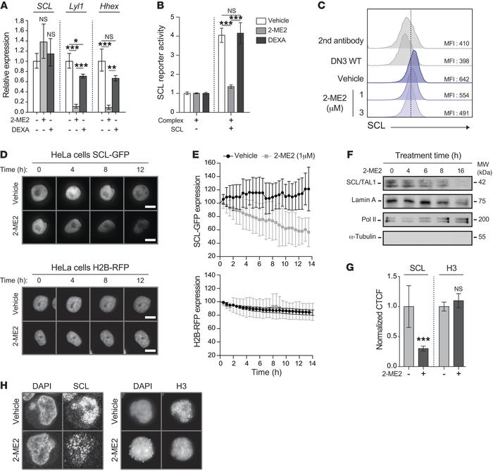 2-ME2 inhibits the accumulation of SCL protein. (A) Pre-LSCs from SCLtgL...