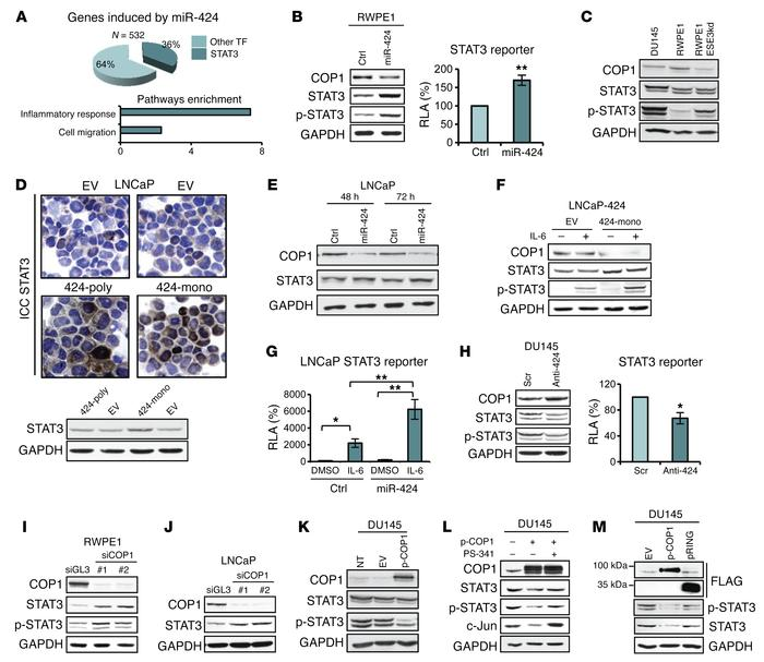miR-424 induces STAT3 stability and activity by targeting COP1. (A) Pie ...