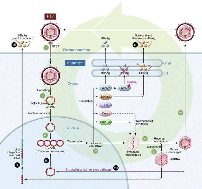 The life cycle of HBV. HBV enters the hepatocyte via binding to the sodi...