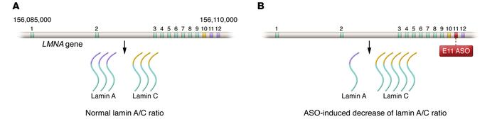 A schematic of the LMNA gene, which spans approximately 25 kbp on chromo...