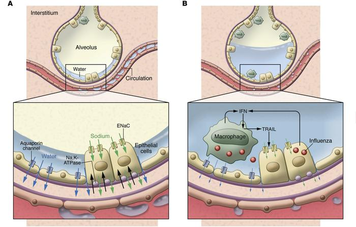 Regulation of alveolar water clearance. (A) Under homeostatic conditions...