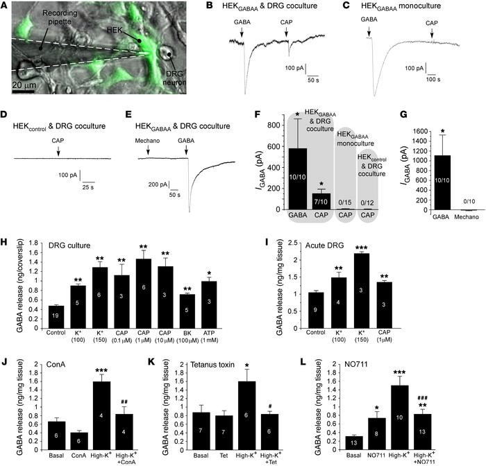 "Stimulus-induced release of GABA from DRG neurons. (A–E) ""Sniffing patch..."