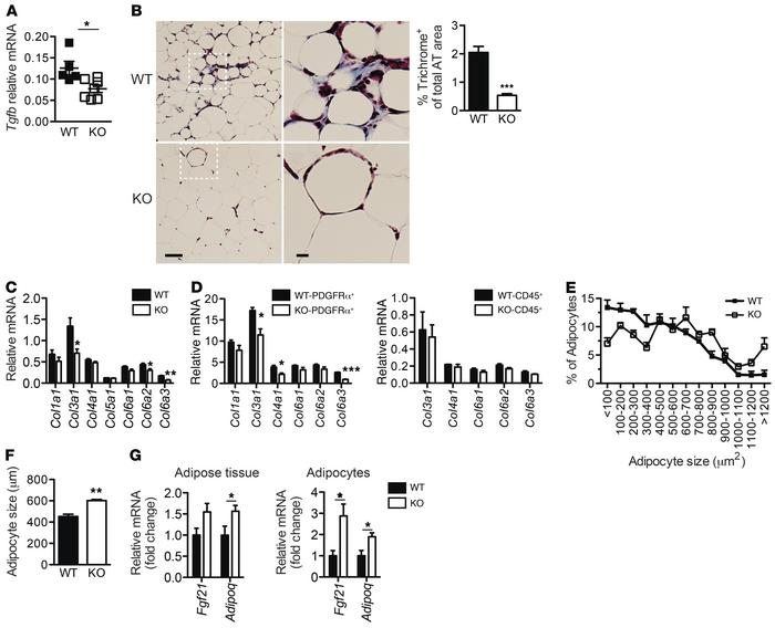 Less fibrotic adipose tissue of cad-11–/– mice contains healthy adipocyt...