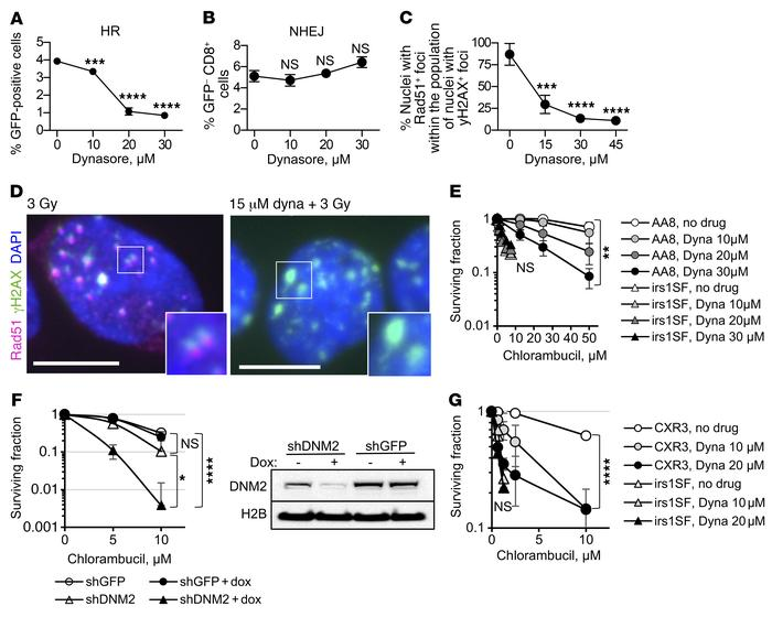 Inhibition of DNM2 impairs HDR. (A) Dynasore reduces gene conversion in ...