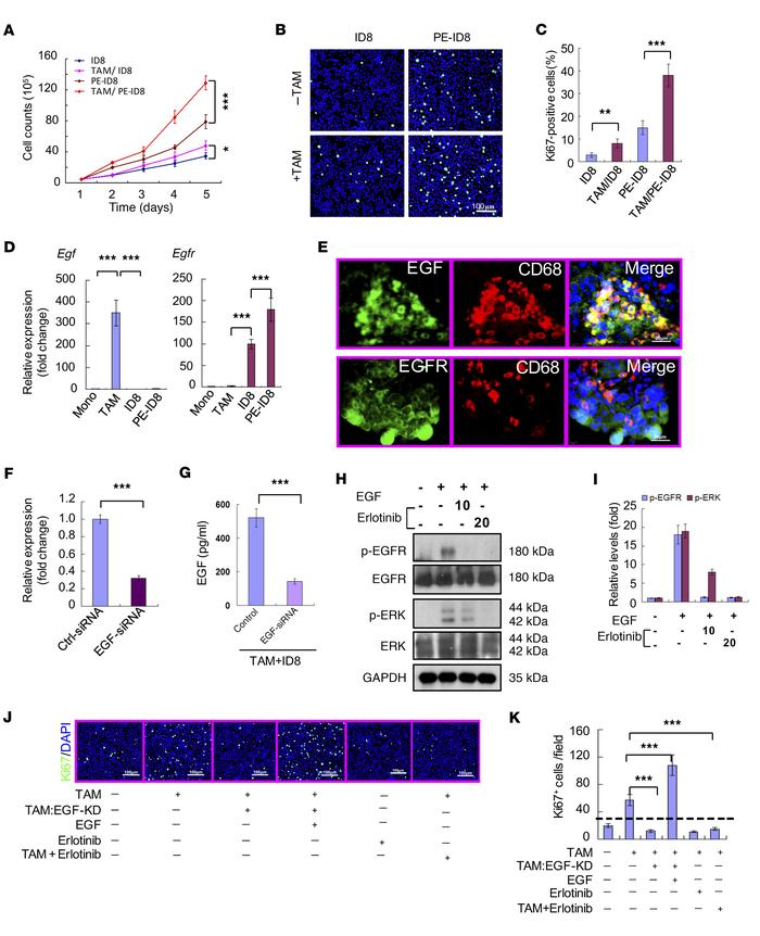 Reciprocal upregulation of Egf in TAMs and Egfr expression in tumor cell...