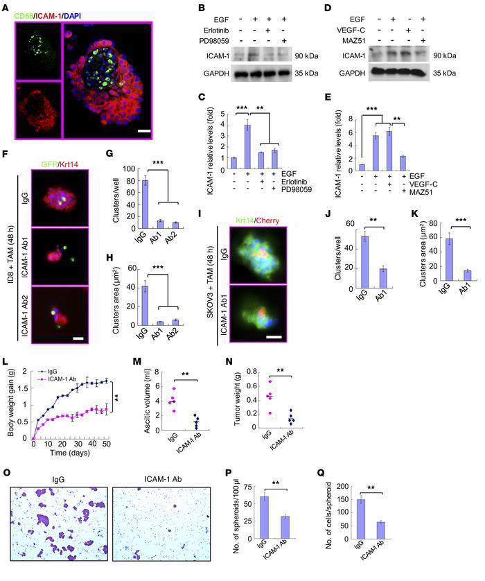 TAMs promote adhesion with EGFR+ tumor cells through integrin αMβ2 and I...