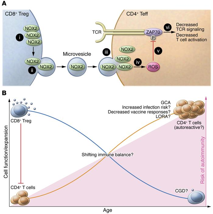Schematic of the mechanism by which CD8+ Tregs suppress CD4+ T cells and...