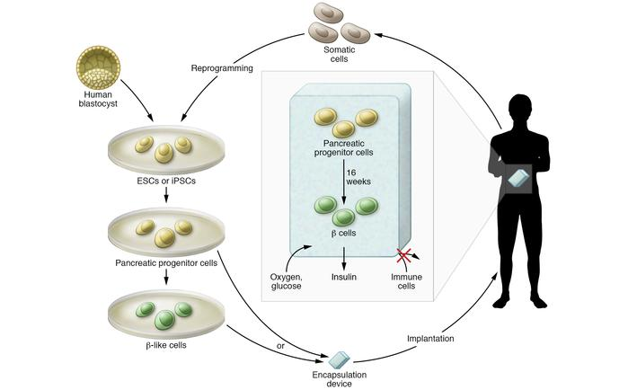 β cell replacement from human pluripotent stem cell sources. Currently p...
