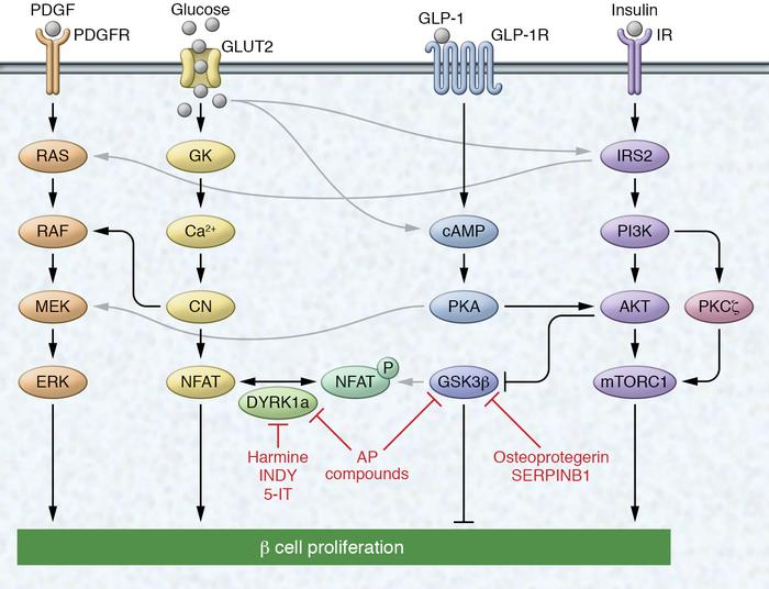 Select signaling pathways known to regulate β cell proliferation. Growth...
