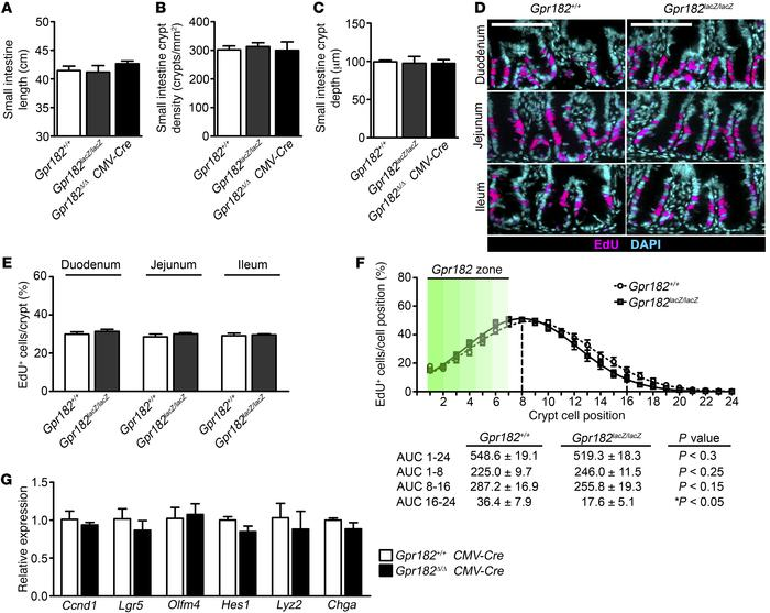 Reduced Gpr182 does not alter basal proliferation in vivo. (A) Length of...