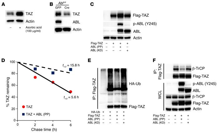 ABL stabilizes TAZ through the suppression of a ubiquitin-mediated degra...