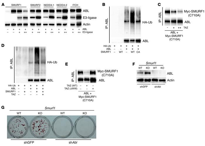 TAZ regulates ABL protein stability by competitive displacement of the A...