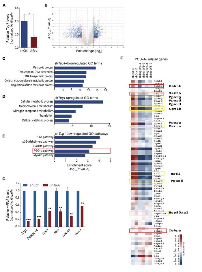 Tug1 mediates expression of PGC-1α pathway genes. (A) Gene expression a...