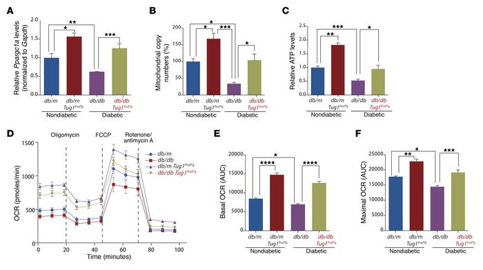 Tug1 modulates Ppargc1a mRNA and mitochondrial bioenergetics in vivo. (...