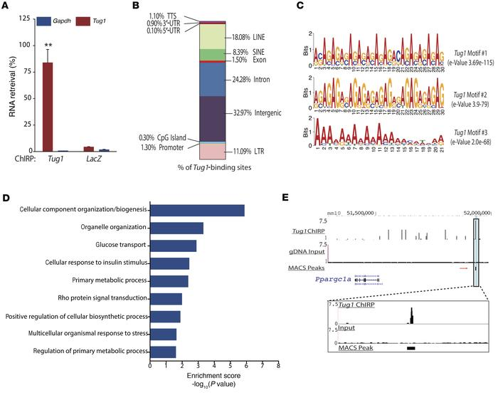 ChIRP-seq analysis reveals genome-wide binding sites for Tug1, including...