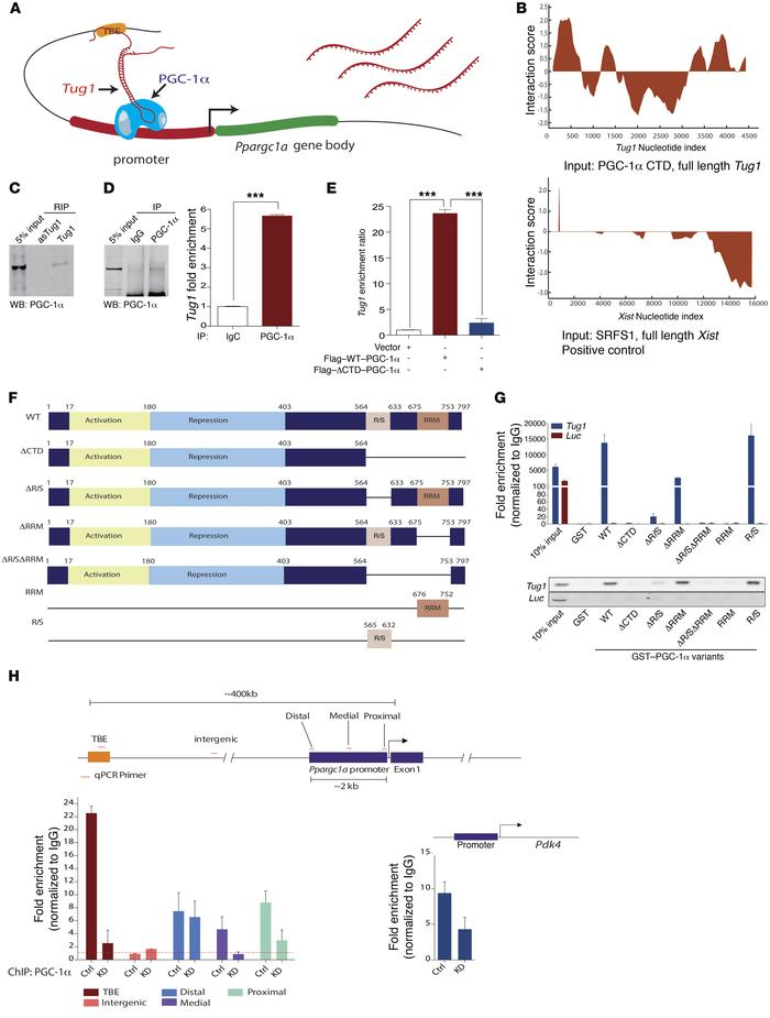 Tug1 and PGC-1α directly interact to enhance Ppargc1a mRNA levels. (A) ...
