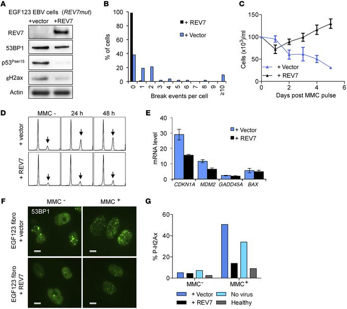 Correction of the extended phenotype of the EGF123 cells by WT REV7 expr...