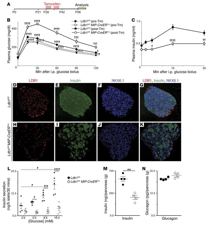 Ablation of Ldb1 in the mature β cell results in impaired glucose homeos...