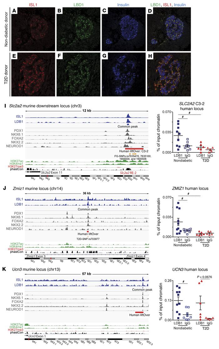 LDB1-mediated complexes occupy active enhancers in murine and human isle...