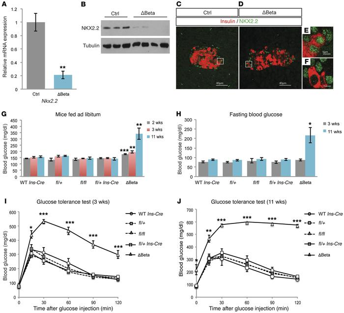Deletion of Nkx2.2 in β cells results in diabetes. (A) Quantitative reve...