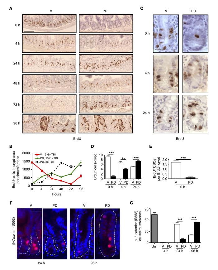 PD improves crypt regeneration and alters proliferation kinetics. Mice w...