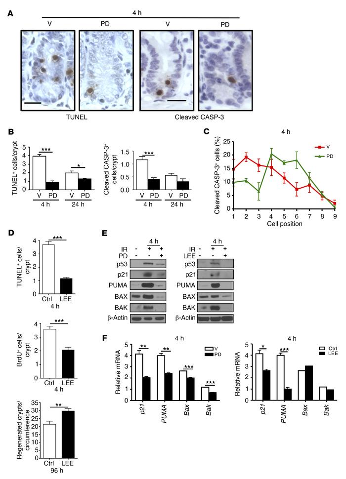 PD blocks IR-induced crypt apoptosis. Mice were pretreated with vehicle,...