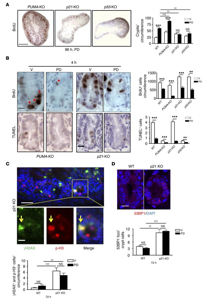 Intestinal radioprotection by PD requires the p53 pathway. Mice of the i...